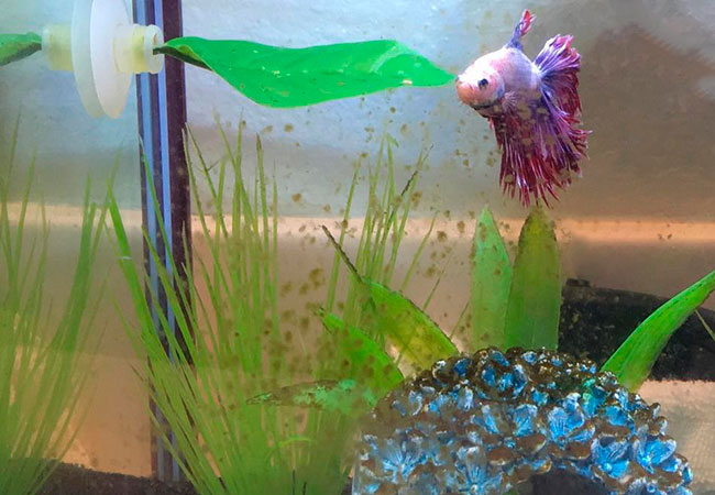 Betta in tank with brown algae coating fake plants and ornaments