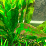 brown algae in planted aquarium