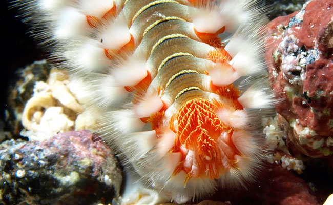 close up on the fine hairs either side of the segmented body of a bristle worm