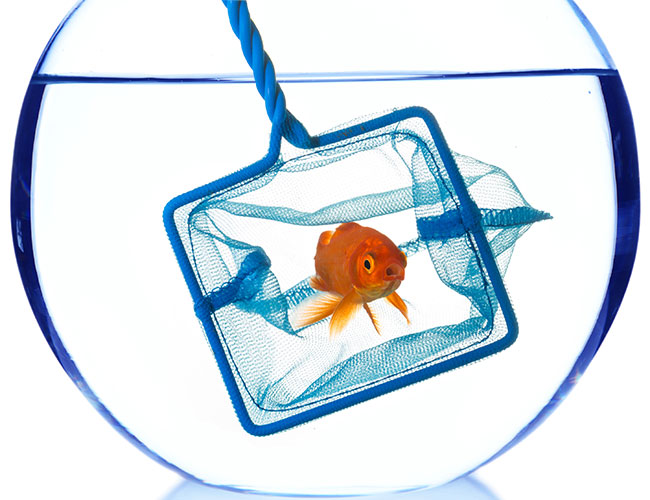 Goldfish being scooped out of bowl with aquarium net