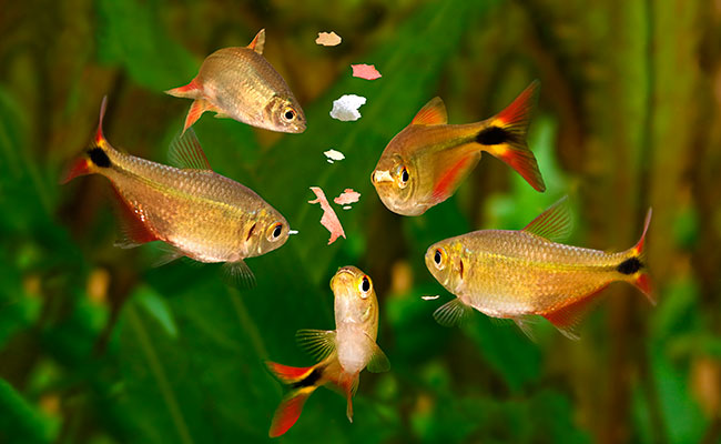 Tetra aquarium fish eating a meal of freeze dried blood worms and mosquito larvae in their aquarium