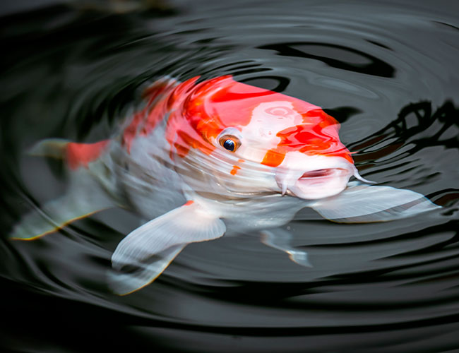 Fish gasping for air at surface of water due to lack of oxygen