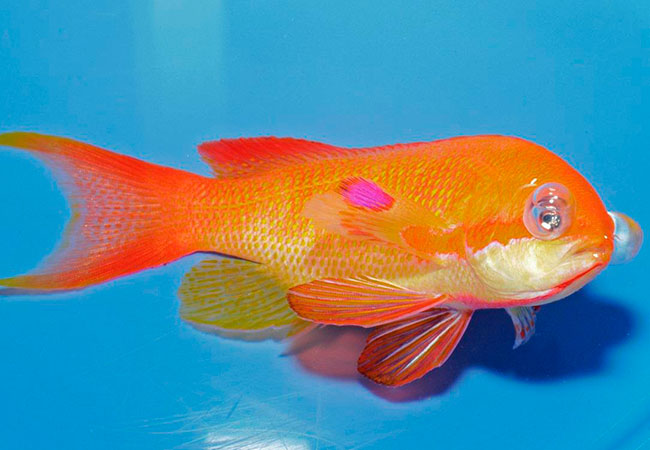 Fish with gas bubble disease from supersaturated water containing oxygen
