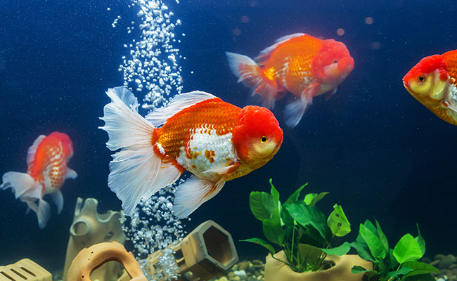 Goldfish swimming in fish tank with bubbler