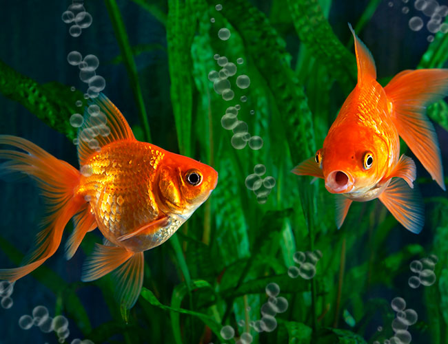 Goldfish swimming in oxygenated water in aquarium