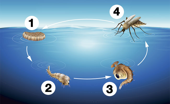 Mosquito life cycle and when fish can eat them as food diagram