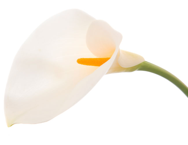 The cala lily flower that a lily pipe resembles