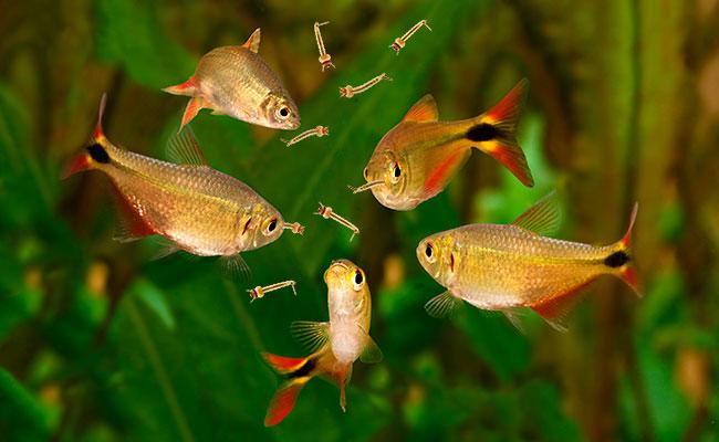 Small Pack Gambusia Mosquito Fish