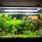 Glass aquarium with discuss swimming around
