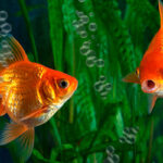Two Goldfish swimming in oxygenated water in aquarium