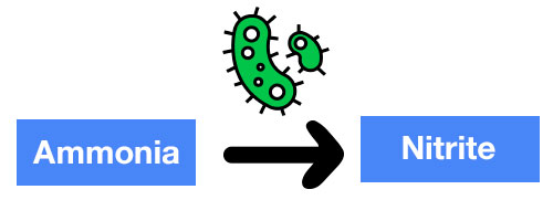 Ammonia turned into nitrite by bacteria diagram