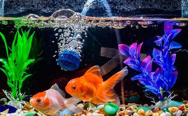 Aquarium airline connected to airstone in goldfish tank