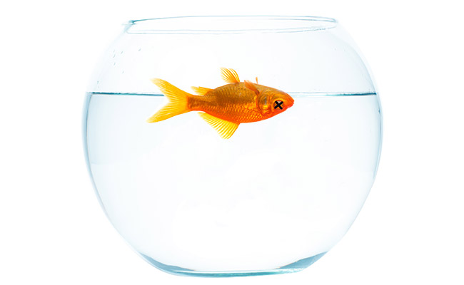 Goldfish floating upside down dead inside fish bowl