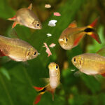 A group of tetra freshwater fish eating flakes of food in an aquarium