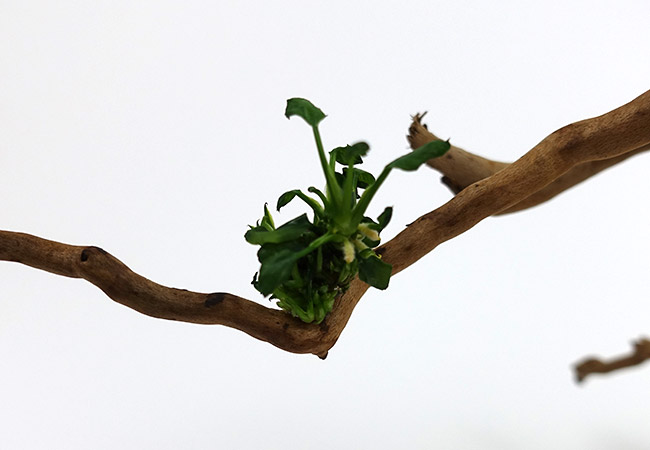 Aquarium plant glued to piece of driftwood