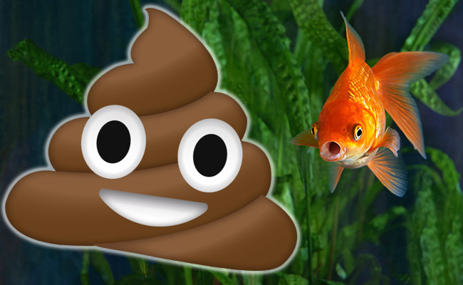 Bad smelling fish poop in aquarium next to goldfish