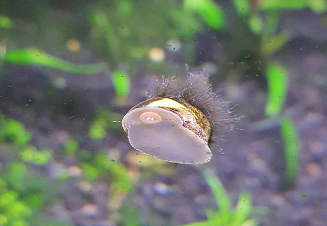 Black beard algae growing on snail shell