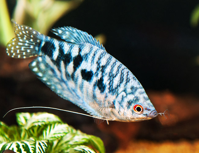 Blue Gourami fish eating hydra