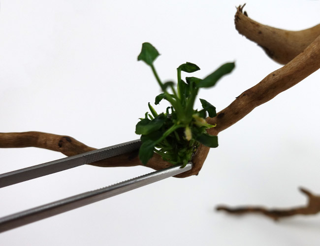 Gluing down an aquarium plant onto branch of driftwood