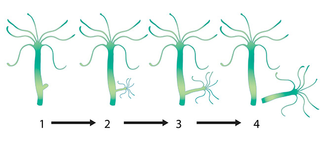Hydra reproducing by budding diagram cycle