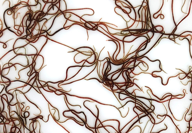 Live Californian blackworms to be used as fish food