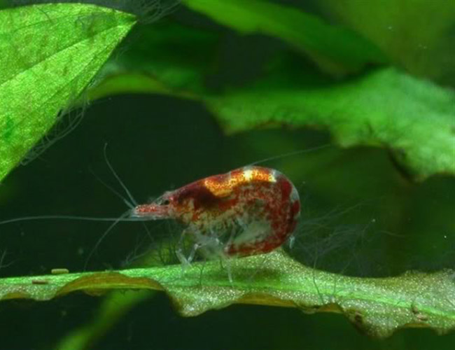 Red cherry shrimp eating staghorn algae