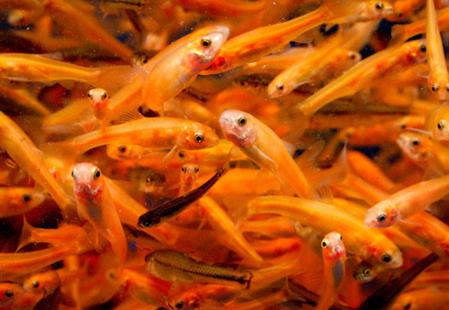 Rosy red minnows used as feeder fish for predators