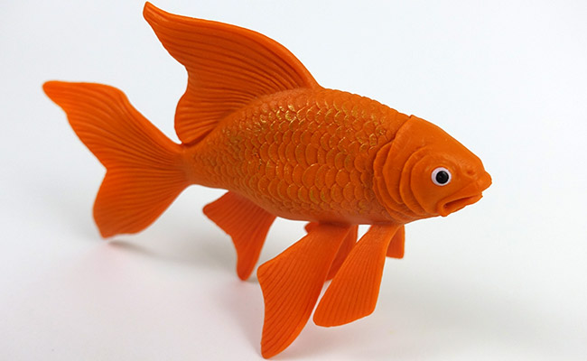 Angus the stunt fish for euthanasia example