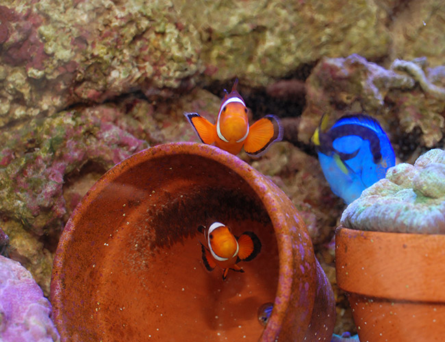 Clownfish guarding eggs in clay pot saltwater aquarium