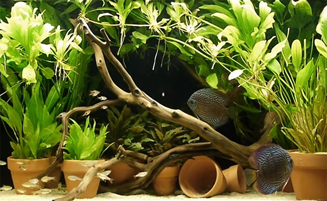 Discus tank with plants in clay terra cotta pots