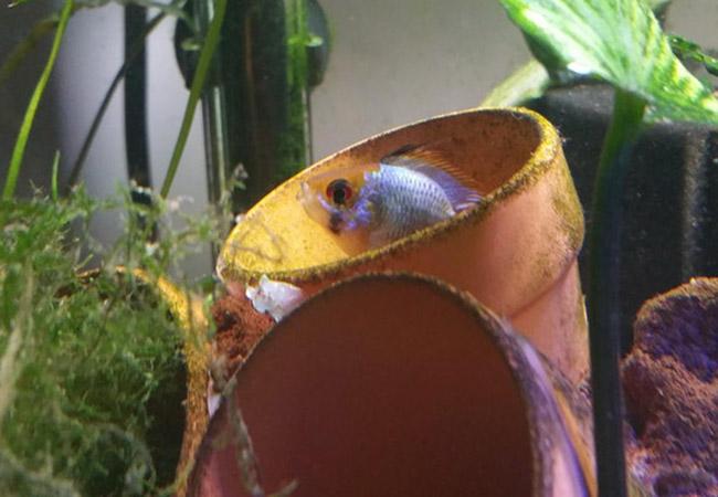 Fish hiding in clay pot sitting upright in aquarium