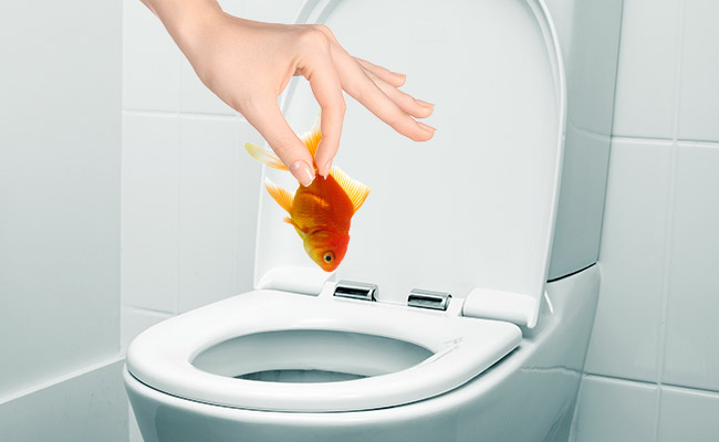 Flushing a fish down the toilet to kill it