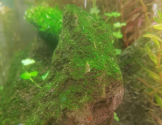 Green dust algae covering a rock inside aquarium