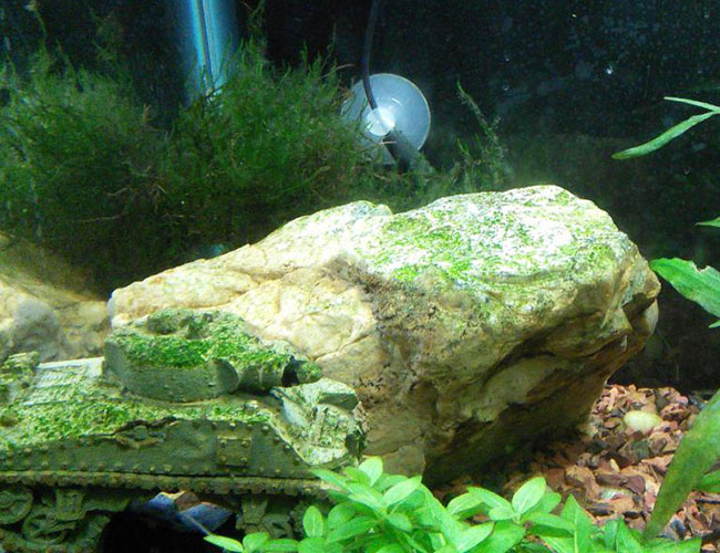 Green spot algae covering a rock in aquarium