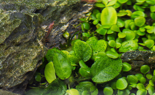 Green spot algae on plant leaves and rock in aquarium