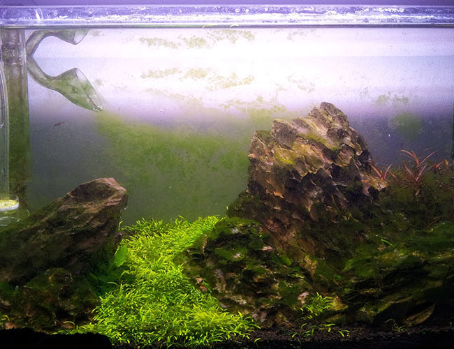 Planted tank with lily pipe, rocks and plants covered in green dust algae