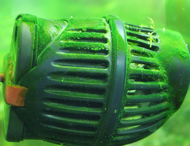 Powerhead covered in green dust algae