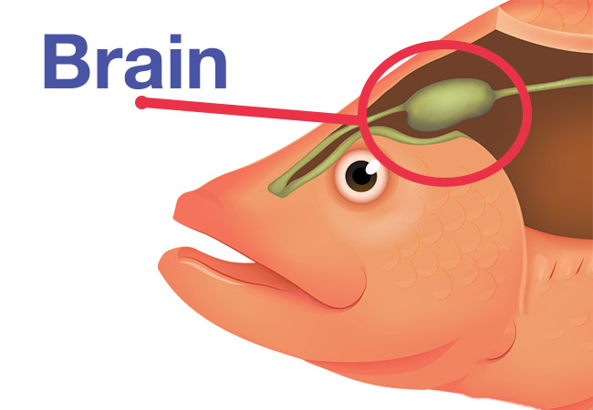 The brain location of your fish diagram