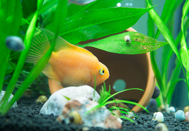Blood parrot cichlid checking out terra cotta pot in aquarium