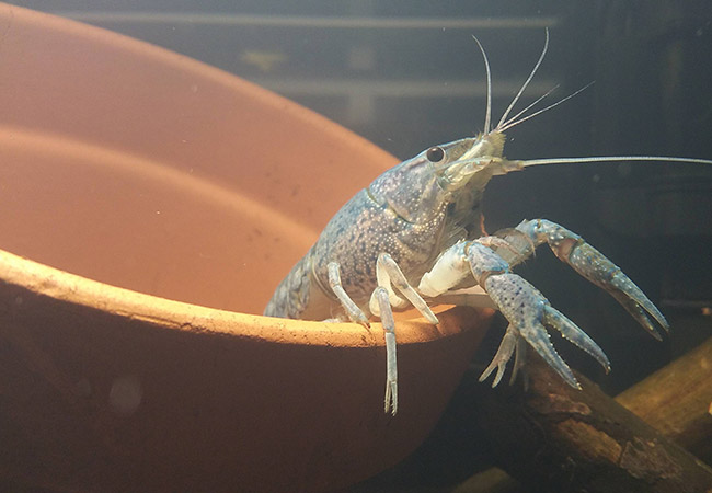 Crayfish hiding inside clay terra cotta pot in aquarium