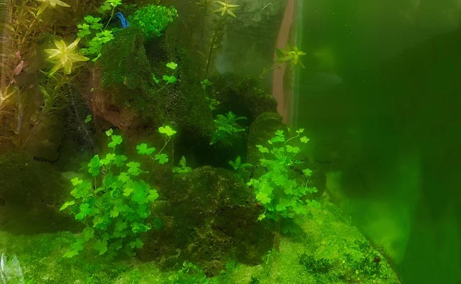 Fish tank coated with green dust algae on glass, plants and gravel