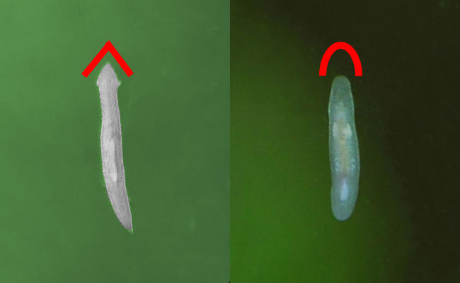 Planarian vs rhabdocoela flatworm compared side by side