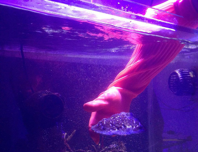 Lifting live rock out of aquarium with gloves on