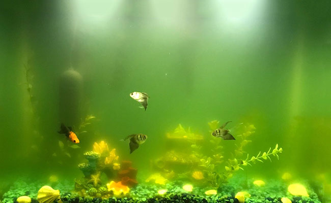 Aquarium water beginning to turn a murky shade of green