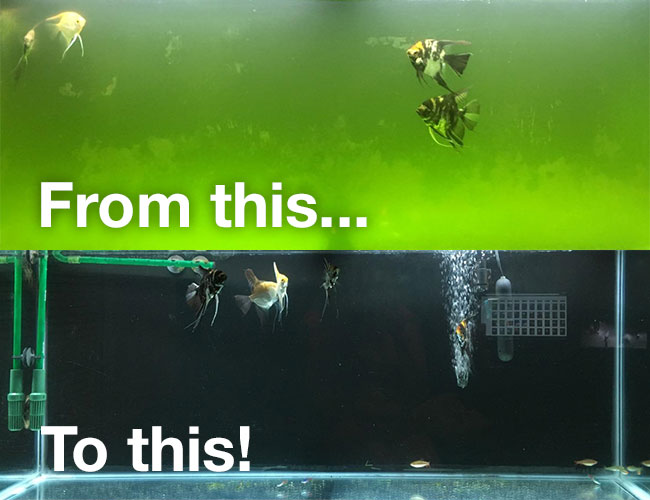 Before and after getting rid of green aquarium water problem