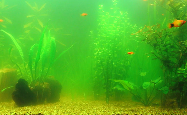 Fish swimming in green aquarium water