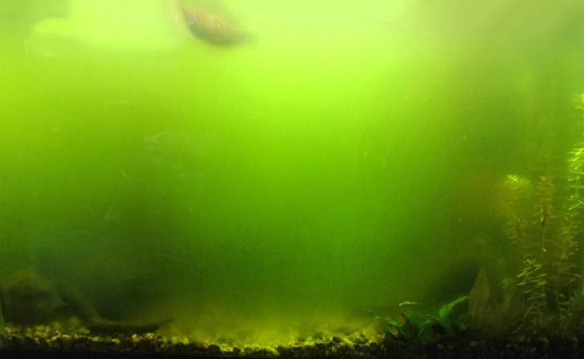 Green foggy water inside aquarium