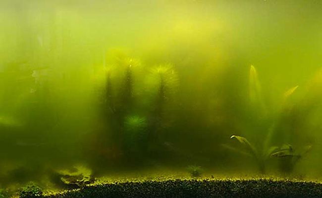 Thick cloudy green-yellow aquarium water