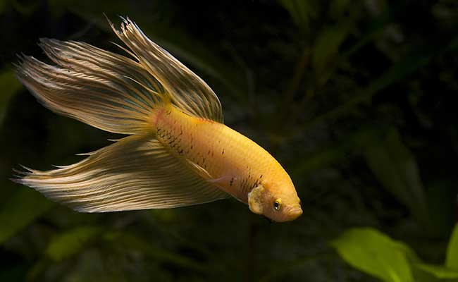 An active male betta splenden swimming around his aquarium