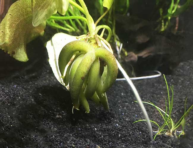 Banana plant being held up by roots at bottom of aquarium